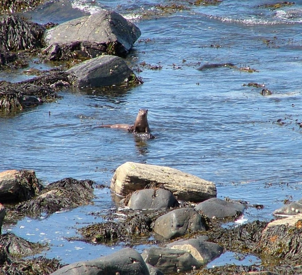 river otter, Griminish Point, North Uist